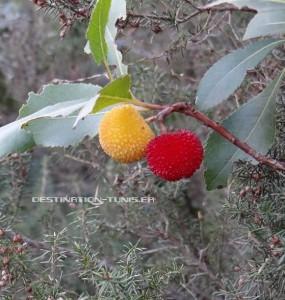 Fruit de l'arbousier : les arbouses.