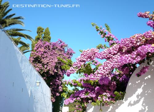 Un peu de rose au milieu du bleu et blanc de Sidi Bou Saïd !