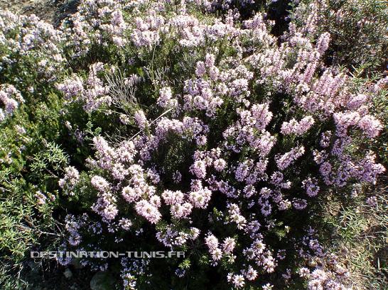 Plant de bruyère en fleur... comme en Bretagne en juillet !