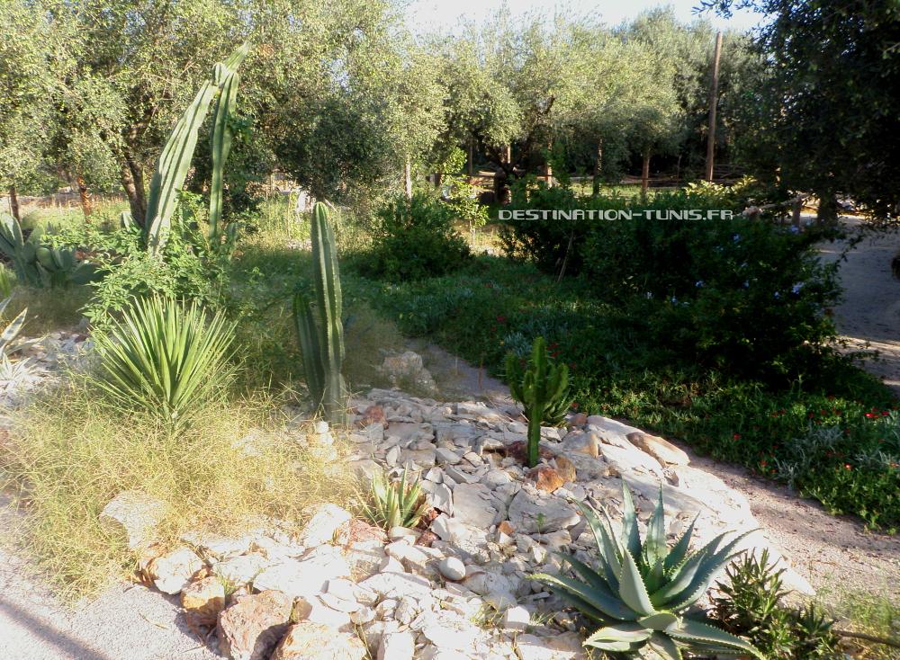 Cactus californiens à l'écoferme de Mornag