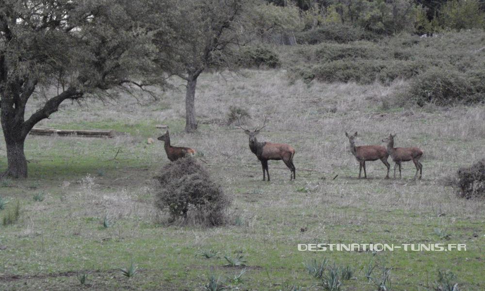 Deux cerfs et deux biches observent, dans un champ