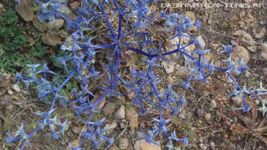 Le chardon bleu, variété que l'on rencontre régulièrement en randonnant