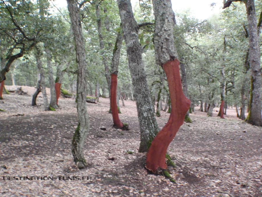 Chêne-lièges écorchés de leur écorce.