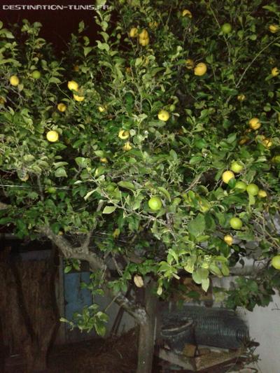 Un citronnier 4 saisons, pour une citronnade presque 12 mois par an !