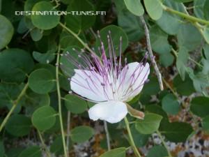 Fleur du caprier en Tunisie