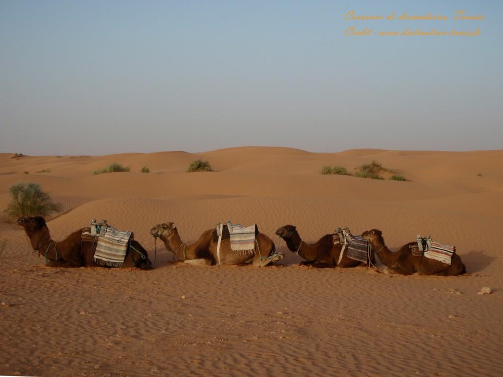 Fond d'écran Désert Caravane de dromadaires Tunisie
