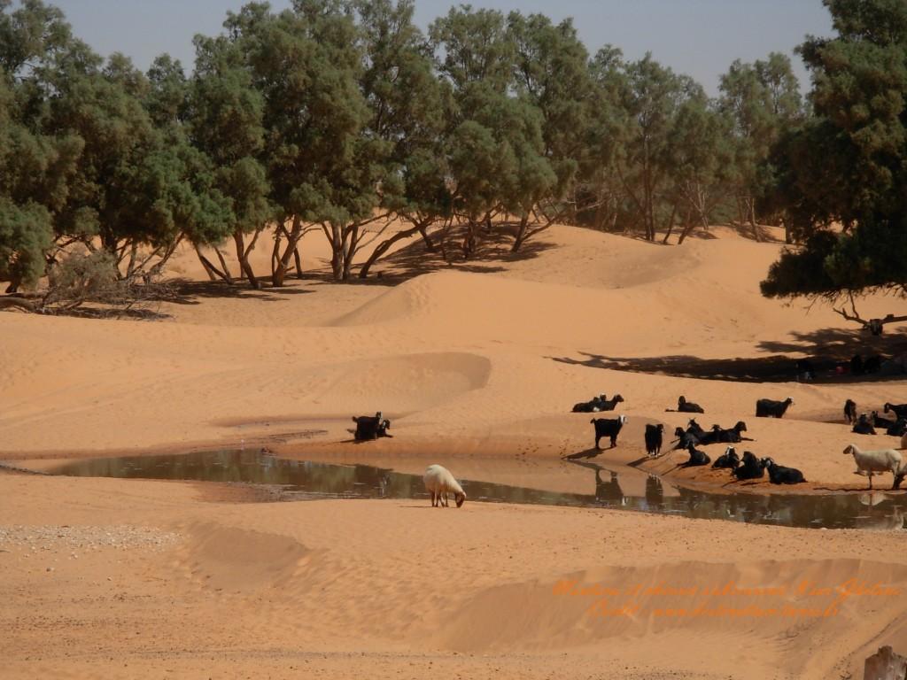 Fond d'écran Désert Troupeau de moutons et chèvres s'abreuvent dans l'oasis