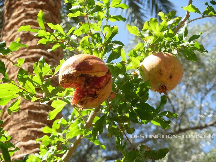 Les saisons des fruits et légumes en Tunisie : les grenades en automne