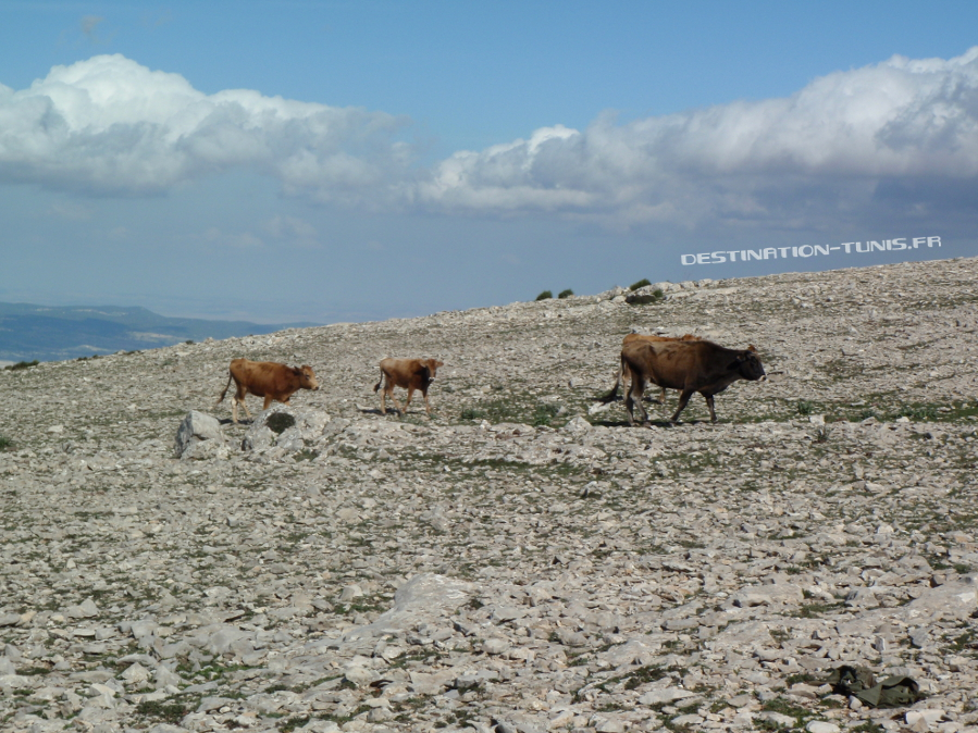Vaches qui gambadent dans les pierriers