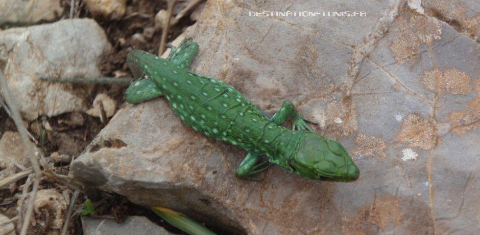 Petit lézard vert croisé lors de la rando