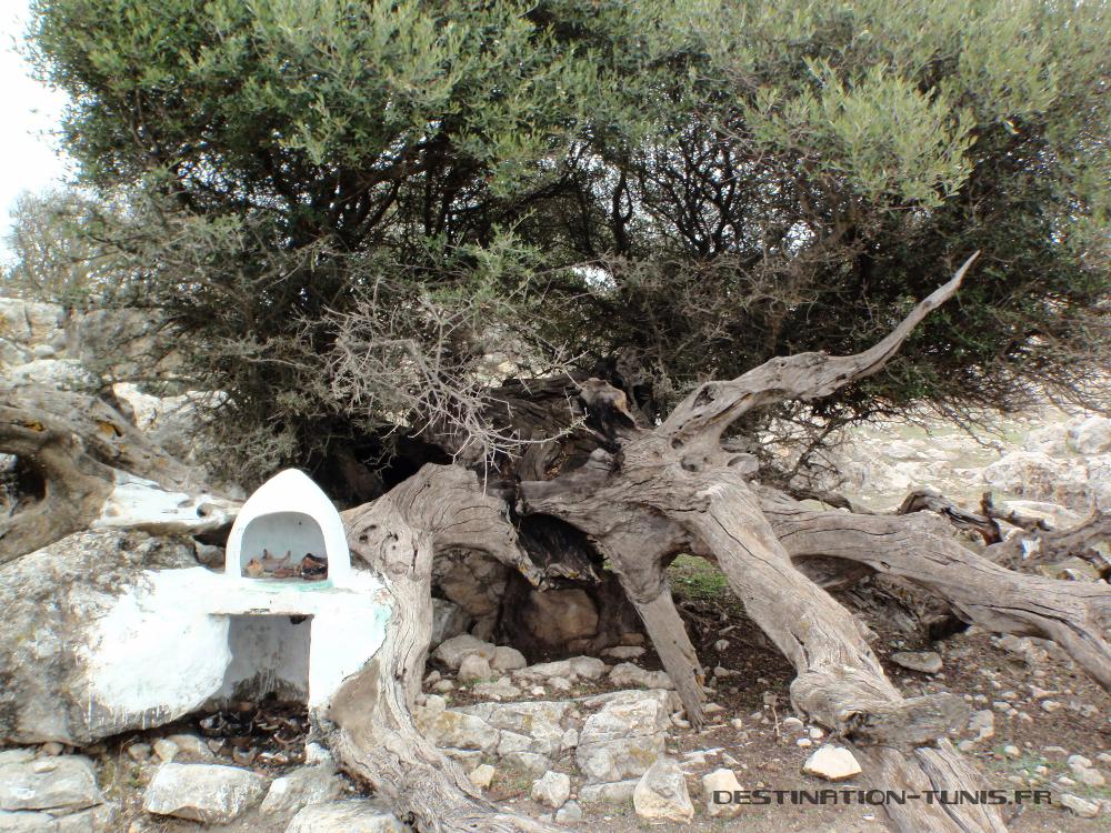 Un petite marabout peint de blanc, niché dans les racines d'un olivier
