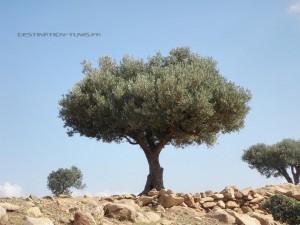 Un bel olivier dans un champ