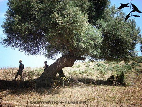 Passage sous des oliviers centenaires.
