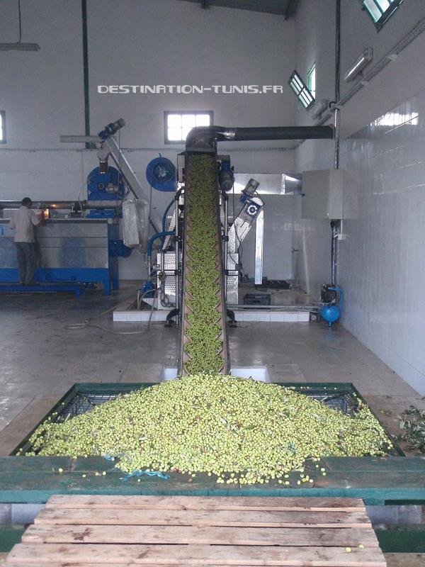 Pressoir industriel : les olives sont déchargées et pressées en quelques minutes (Cap Bon)