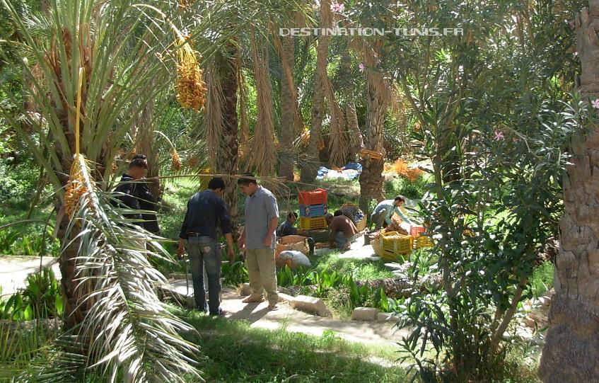 Les saisons des fruits et légumes en Tunisie : tri des dattes après récolte, en octobre