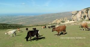 Troupeau de vaches au sommet.
