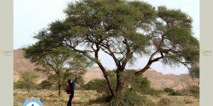 L'acacia de Bouhedma